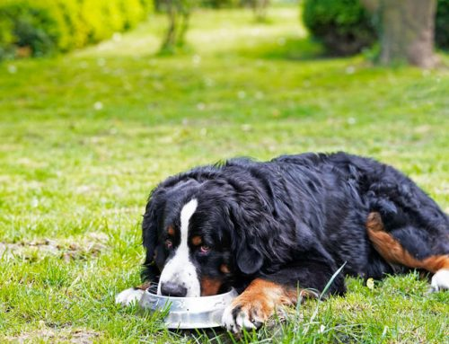 How to Feed a Larger Dog
