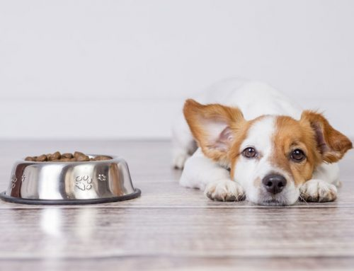 Why do Large Breed Puppies Need Different Food than Small Breed Puppies?