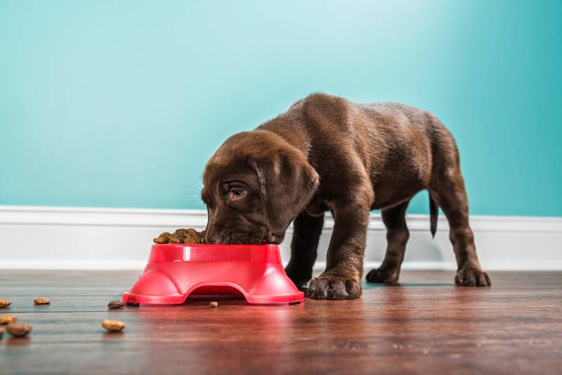 7 week old Chocolate Labrador Retriever puppy eating from a red dog dish