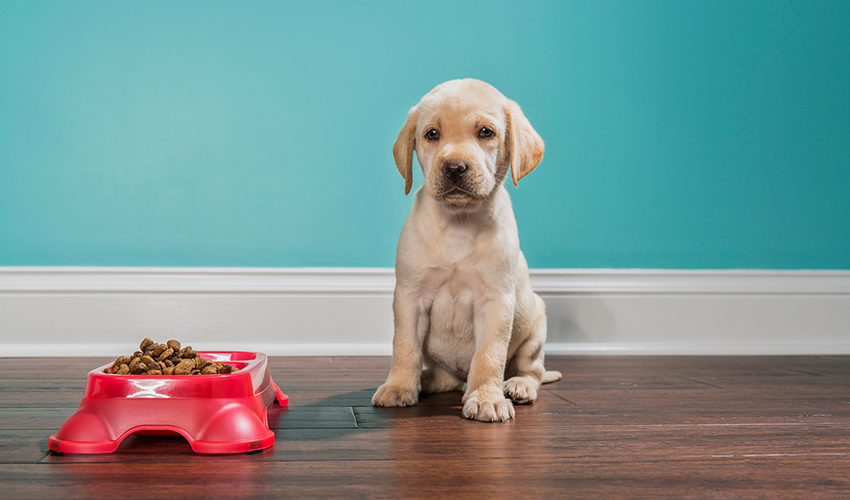 7 week old yellow Labrador Retriever puppy sitting looking at the camera before eating from a red dog dish