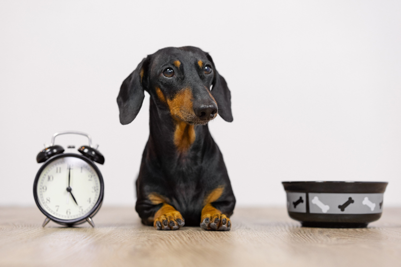 Black and tan dog breed dachshund sit at the floor with a bowl and alarm clock