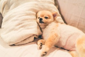 Cute pomeranian dog sleeping on pillow on bed,
