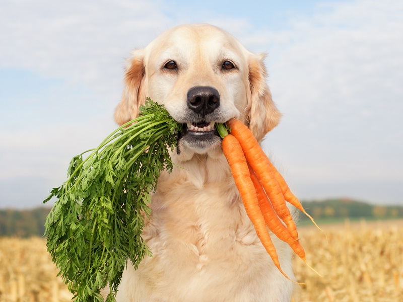 Golden Retriever holding carrots - healthy eating