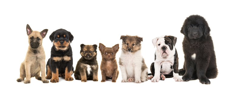Group of zeven different puppies on a white background