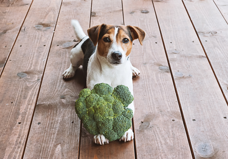 jack russell dog lying with fresh green broccoli